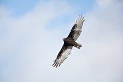 Free Turkey Vulture Stock Photos - 11401593