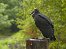 Turkey Vulture Stock Images