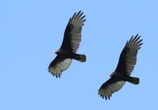 Turkey vulture Stock Photos