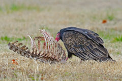 Turkey Vulture Stock Photo