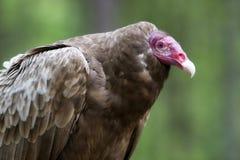 Turkey Vulture stock image