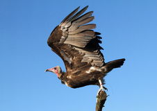Free Turkey Vulture Stock Photos - 23098993