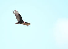 Turkey Vulture Royalty Free Stock Photos