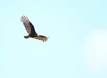 Turkey Vulture. (Cathartes aura). Cuba Royalty Free Stock Photos