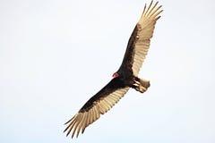 Turkey Vulture. (Cathartes aura). Cuba Stock Photography