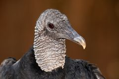 Free Turkey Vulture Royalty Free Stock Photography - 23781277