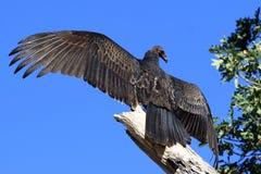 Free Turkey Vulture Stock Image - 3469591