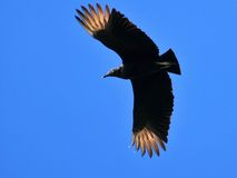 Turkey vulture Royalty Free Stock Images