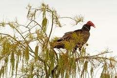 Turkey Vulture. Bald-headed turkey vulture in the Everglades Stock Photo