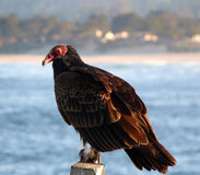 Turkey Vulture. Resting on a fence taken at Point Lobos State Park in California. Blue sea background Royalty Free Stock Photo