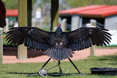 Turkey Vulture back with wing wide open Stock Image