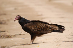 Turkey Vulture on beach Stock Photo