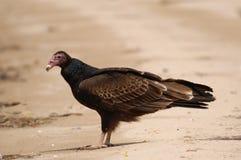 Turkey Vulture on beach Stock Photo