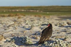 Turkey Vulture on the beach. Turkey Vulture [Cathartes aura jota] on the beach of Sea Lion Island in the Falkland Islands Stock Image