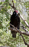 Turkey vulture calls from tree perch Royalty Free Stock Photo