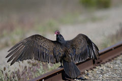 Turkey vulture, cathartes aura Stock Photos