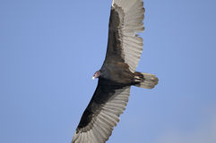 Turkey vulture, cathartes aura Royalty Free Stock Photo