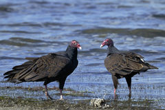 Turkey vulture, cathartes aura Royalty Free Stock Images