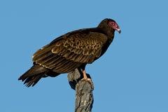 Free Turkey Vulture (Cathartes Aura) Stock Photos - 29142633