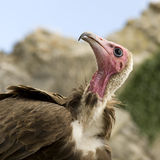 Turkey Vulture - Cathartes aura Stock Photography