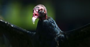 Turkey Vulture (Cathartes aura) Stock Images