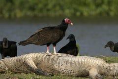 Turkey vulture, Cathartes aura Stock Photo
