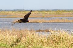 Turkey Vulture. (Cathartes aura) in flight hunting over a field Stock Images