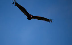 Turkey Vulture (Cathartes aura) Stock Image