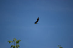 Turkey vulture, Cathartes aura flying in blue sky Royalty Free Stock Photos