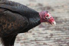 Turkey Vulture. (Cathartes aura) on the ground in the spring Royalty Free Stock Photo