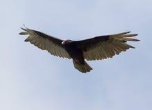 Turkey Vulture - Cathartes aura Royalty Free Stock Photos