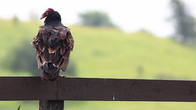 Turkey Vulture, Cathartes aura, loafing. A Turkey Vulture, Cathartes aura, loafing stock video footage