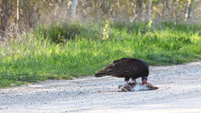 Turkey Vulture, Cathartes aura, with prey stock video footage