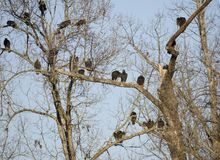 Vulture roost, Georgia, USA. Turkey Vulture, Cathartes aura, in roost in dead trees in winter. New world vultures are carrion crows that eat corpses, dead Stock Image