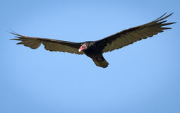 Turkey Vulture (Cathartes aura ruficollis) flying Royalty Free Stock Images