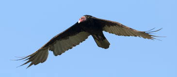 Turkey Vulture (Cathartes aura ruficollis) flying Stock Photography