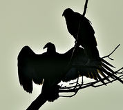 Turkey Vulture (Cathartes aura) in silhouette Stock Photos