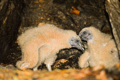 Turkey vulture chicks Royalty Free Stock Images