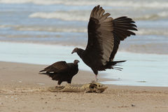 Turkey Vulture Claiming Ownership of a Dead Fish. Immature Turkey Vulture (Cathartes aura) Claiming Ownership of a Dead Lake Sturgeon (Acipenser fulvescens) Stock Photography