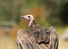 Turkey Vulture Stock Photography