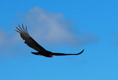 Turkey Vulture In Cuba Stock Images