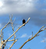 Turkey Vulture in Dead Tree stock photo