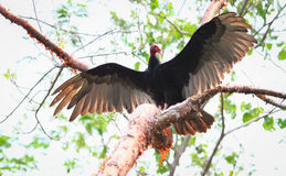 Turkey vulture Royalty Free Stock Image