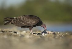 Turkey Vulture feeding on dead fish Royalty Free Stock Photography