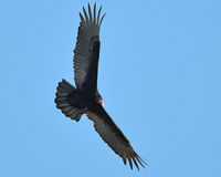 Turkey Vulture In Flight Royalty Free Stock Image