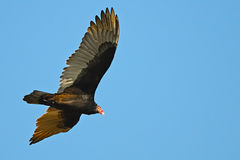 Turkey Vulture In Flight Stock Photography