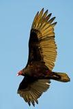 Turkey Vulture In Flight. Against Blue Sky stock photo