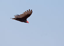 Turkey Vulture in flight Stock Images