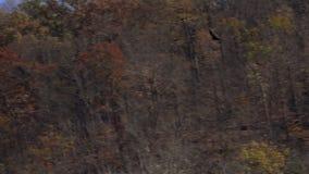 Turkey Vulture in Flight stock video
