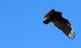 Turkey Vulture in Flight. A bright blue sky in late spring and a Turkey Vulture soars above Lake Erie .A distinctive red face and piercing eyes scan the stock photos